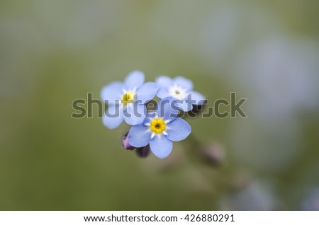 forget-me-flower on a green background