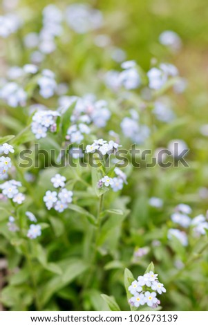 Forget-me-not - stock photo
