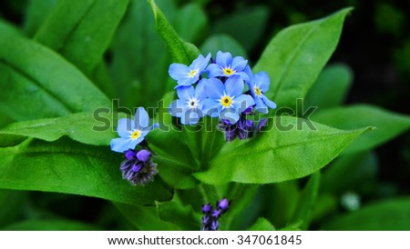 Forget me not - stock photo