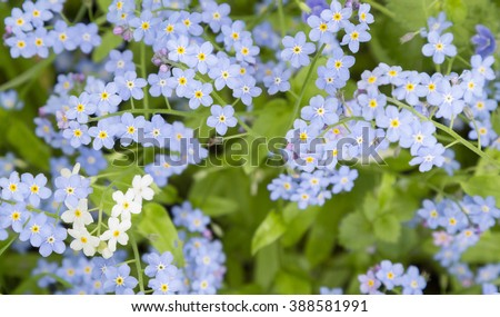 Forget-me-not. A background from many beautiful Myosotis arvensis.