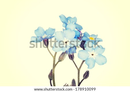 Forget-me-not close up - stock photo