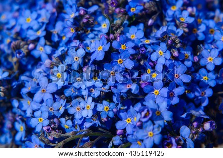 Forget-me-not flower - stock photo
