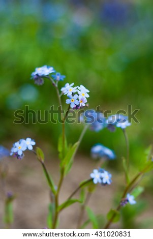 Forget-me-not flower close-up - stock photo