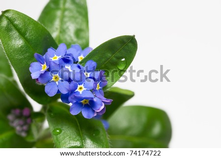 Forget me not flower, closeup, isolated - stock photo