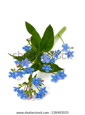 forget-me-not flower over white - stock photo
