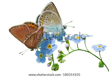 Forget Me Not Flower with common blue butterflies - stock photo