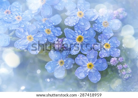 Forget me not flower with rain drops - stock photo