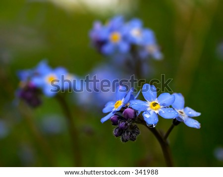 Forget me not flowers - stock photo
