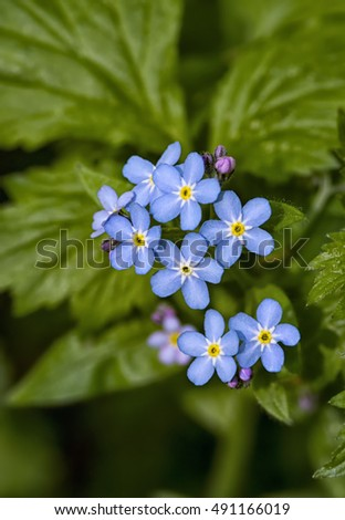 forget-me-not flowers against the background of green leaves