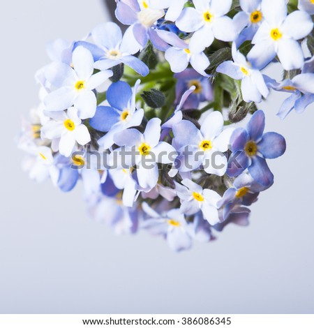 Forget-me-not flowers close up on a blue background