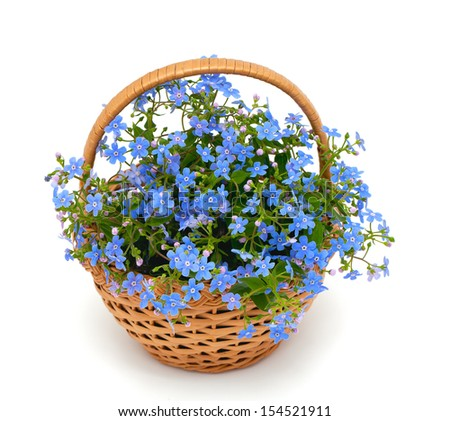 forget-me-not flowers in a basket over white - stock photo