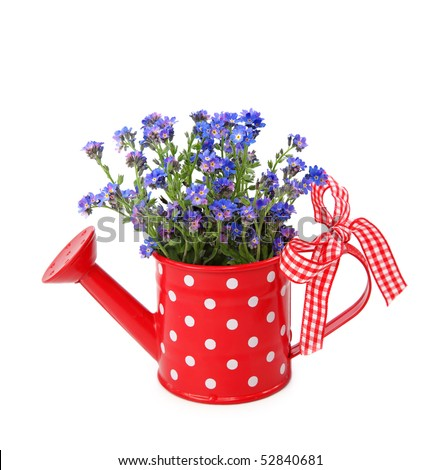 Forget-me-not flowers in red  watering-can isolated on white background - stock photo
