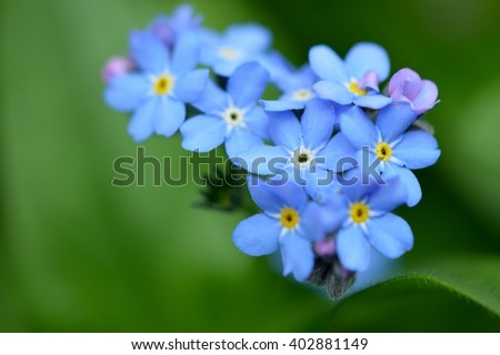 Forget-me-not flowers in spring