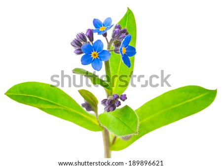 forget-me-not flowers isolated on white background 1:1 macro lens shots - stock photo