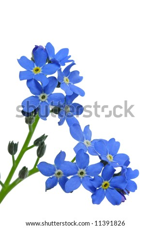 forget-me-not isolated on white background - stock photo