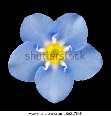 Forget-me-not Light Blue Flower Isolated on Black Background. Myosotis arvensis Macro - stock photo