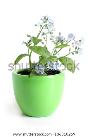 Forget-me-not (Myosotis) in pot on a white background - stock photo