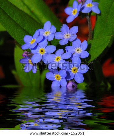 Forget Me Not Reflections - stock photo