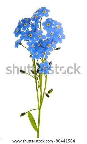 forget-me-not single flower isolated on white background - stock photo