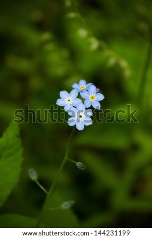 Forget me not, small blue flowers