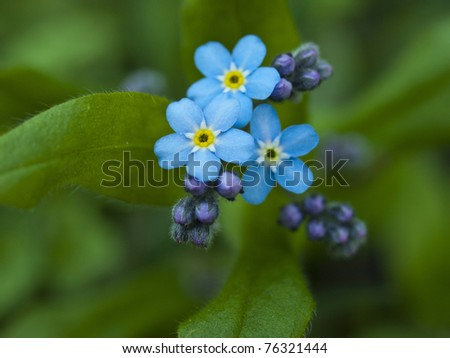 Forget me not, small flowers in the shape of a heart - stock photo