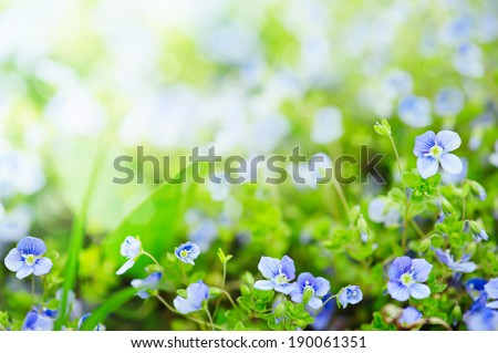 Forget-me-not tender  flowers blossoming in spring time, natural floral background - stock photo