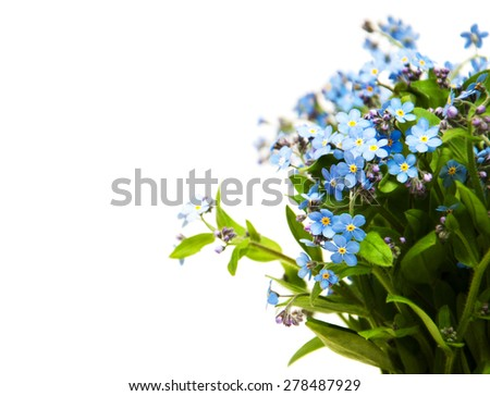 Forget-me-nots flowers on a white background - stock photo