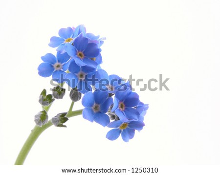 forget-me-nots on white background close-ups - stock photo