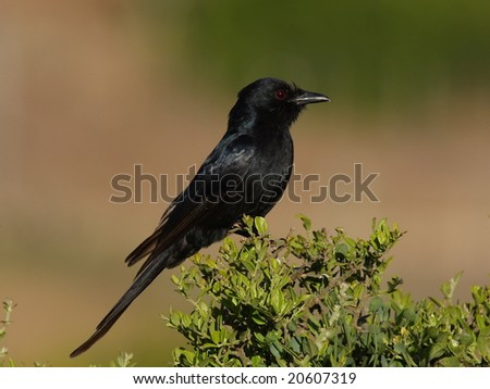 Fork Tailed Drongo,also know as a Bee catcher and is very cheeky. - stock photo