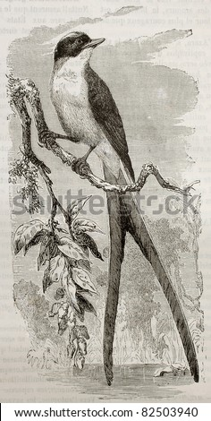 Fork-tailed Flycatcher old illustration (Tyrannus savana). Created by Kretschmer and Illner, published on Merveilles de la Nature, Bailliere et fils, Paris, 1878 - stock photo