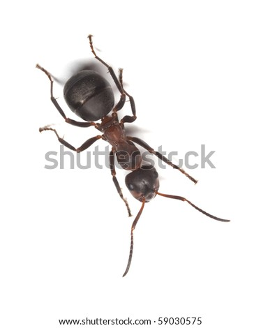 Formica ant isolated on white background. Macro photo. - stock photo