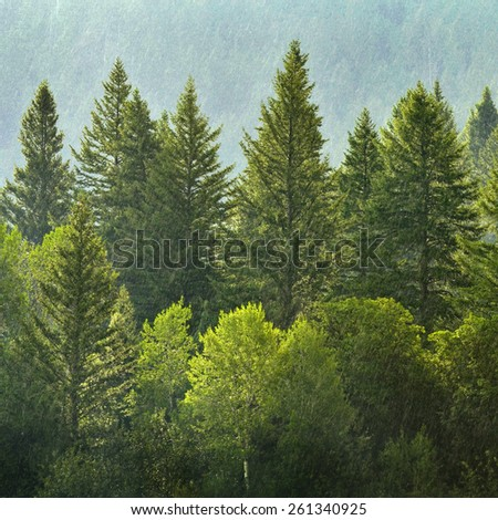 Forrest of green pine trees on mountainside with rain - stock photo