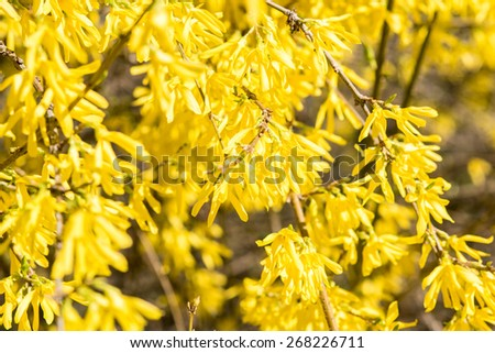 Forsythia Tree Flowers In Spring Time - stock photo