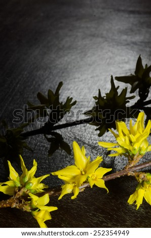 forsythia twig  on dark background - stock photo