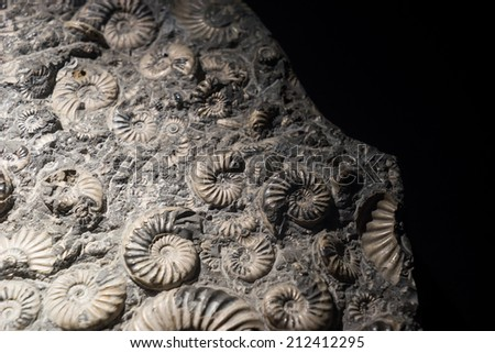 fossil embedded in stone, real ancient petrified shell  - stock photo
