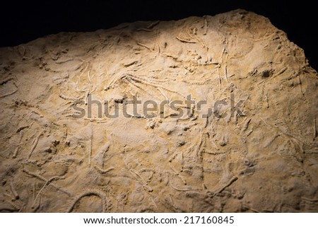 fossil fish embedded in stone, real ancient petrified shell for  - stock photo
