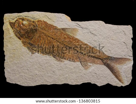 Fossil fish from Green River outcrops: Diplomistus dentatus