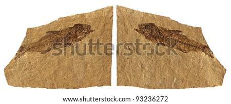 Fossil Fish / Limestone Fossil Fish of Bolca - Verona - Italy - stock photo