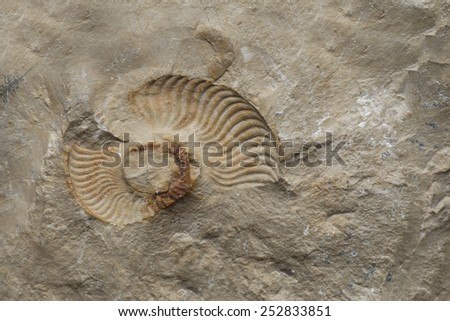 fossil shell - stock photo