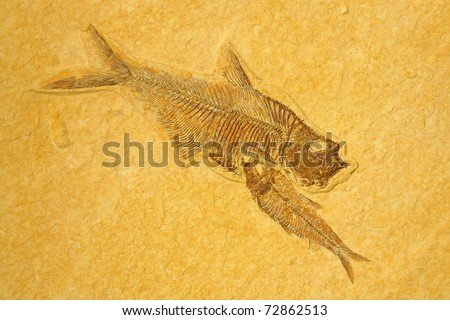 Fossil skeletons Fishes in sandstone. - stock photo
