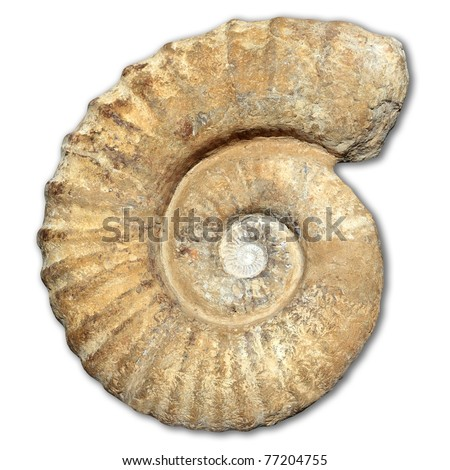 fossil spiral snail stone real ancient petrified shell isolated on white [Photo Illustration] - stock photo