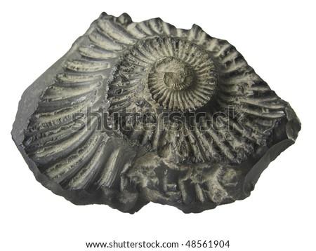 Fossilized ammonite shell, saligram stone - stock photo