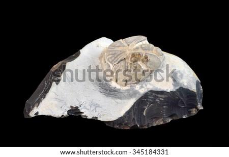 Fossilized sea urchin in flint - stock photo