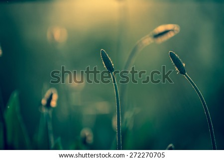 Fountain grass - stock photo