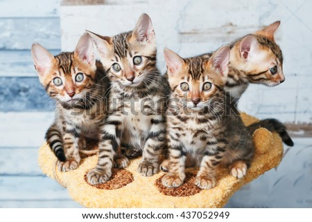 Four adorable brown spotted bengal kittens sitting on a stand - stock photo