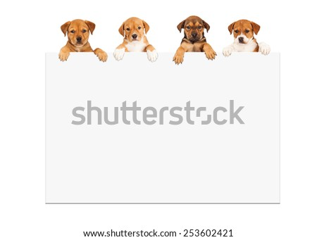 Four adorable eight week old mixed Shepherd breed puppy dogs hanging over large white sign - stock photo