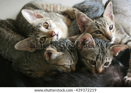 Four adorable funny Cute Kitten cats lay down and play cuddle together during breast feeding milk time from mother, Happy family. - stock photo