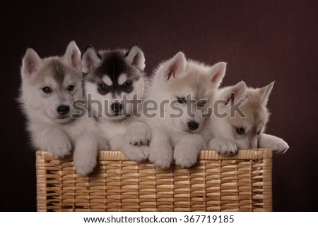 Four adorable Husky puppy in a basket. On a brown background in the Studio. - stock photo