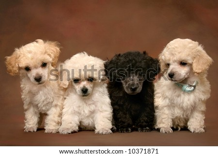 four adorable poodle puppies - stock photo