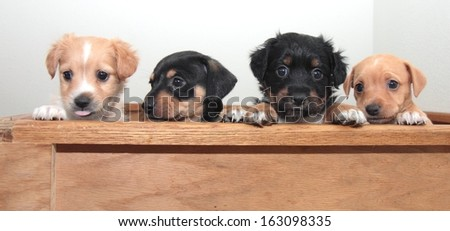 Four alert  terrier puppies, one with a pink tongue sticking out. - stock photo